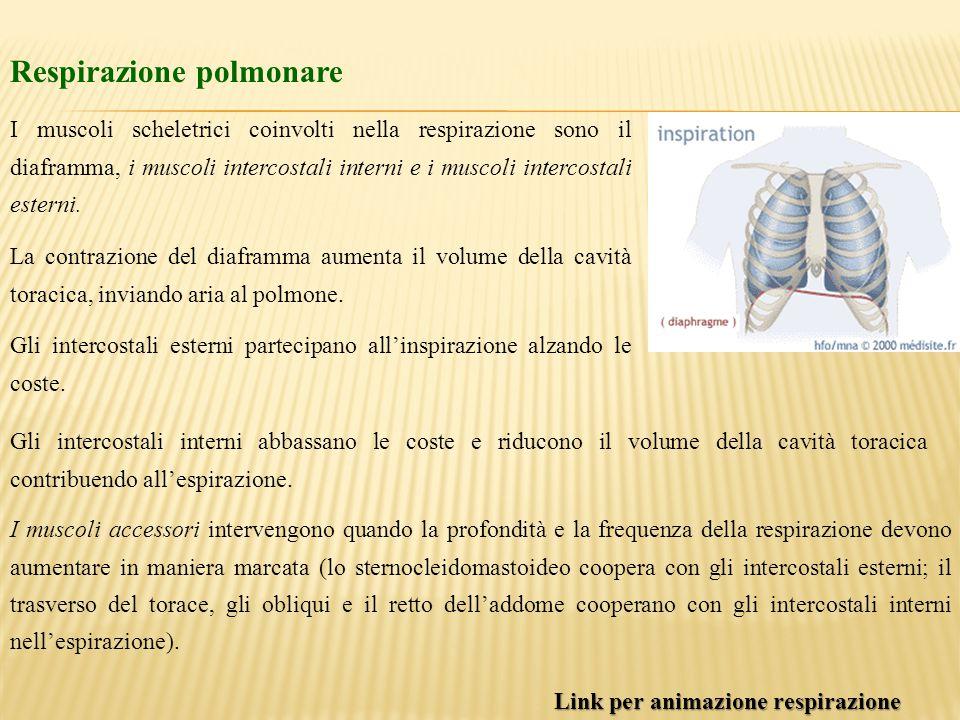 Respirazione polmonare I muscoli scheletrici coinvolti nella respirazione sono il diaframma, i muscoli intercostali interni e i muscoli intercostali e