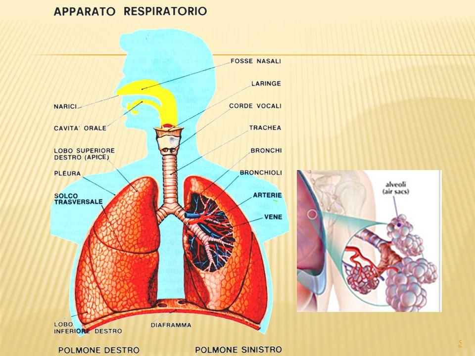 VIE AEREE SUPERIORI: 6 CAVITA' NASALI FARINGE CAVITA' ORALI L aria per giungere ai polmoni deve passare tramite le CAVITÀ NASALI che, per non far passare il pulviscolo, sono tappezzati da peli.