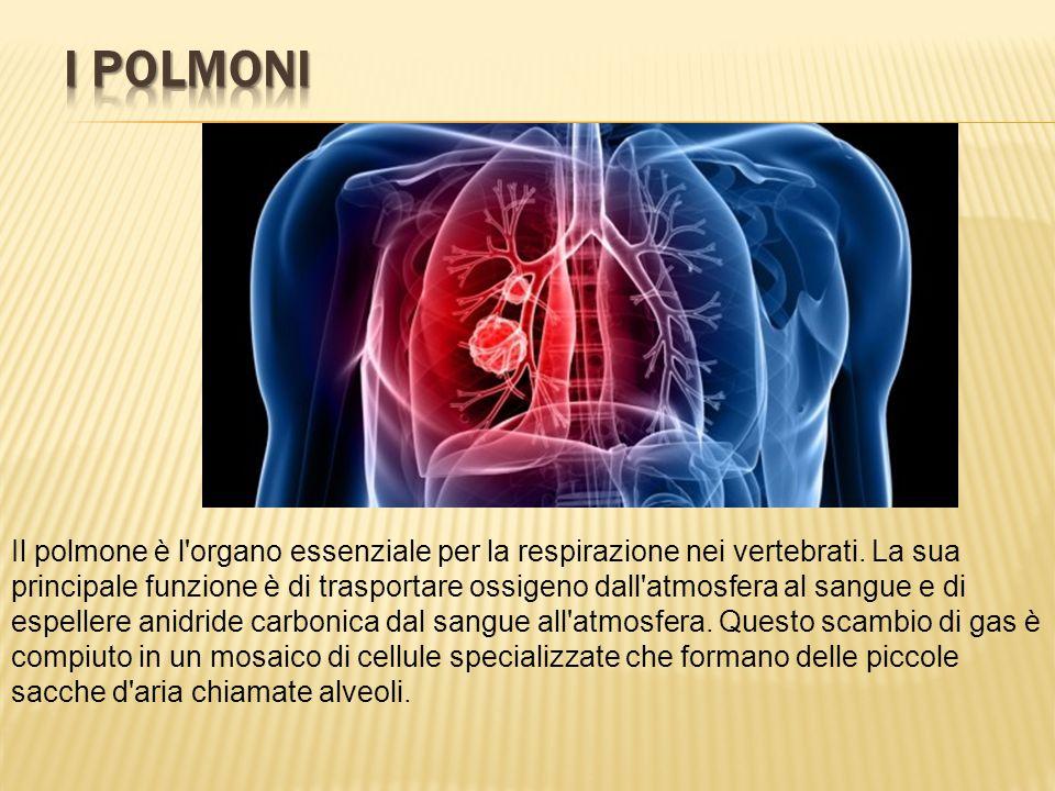 Il polmone è l'organo essenziale per la respirazione nei vertebrati. La sua principale funzione è di trasportare ossigeno dall'atmosfera al sangue e d