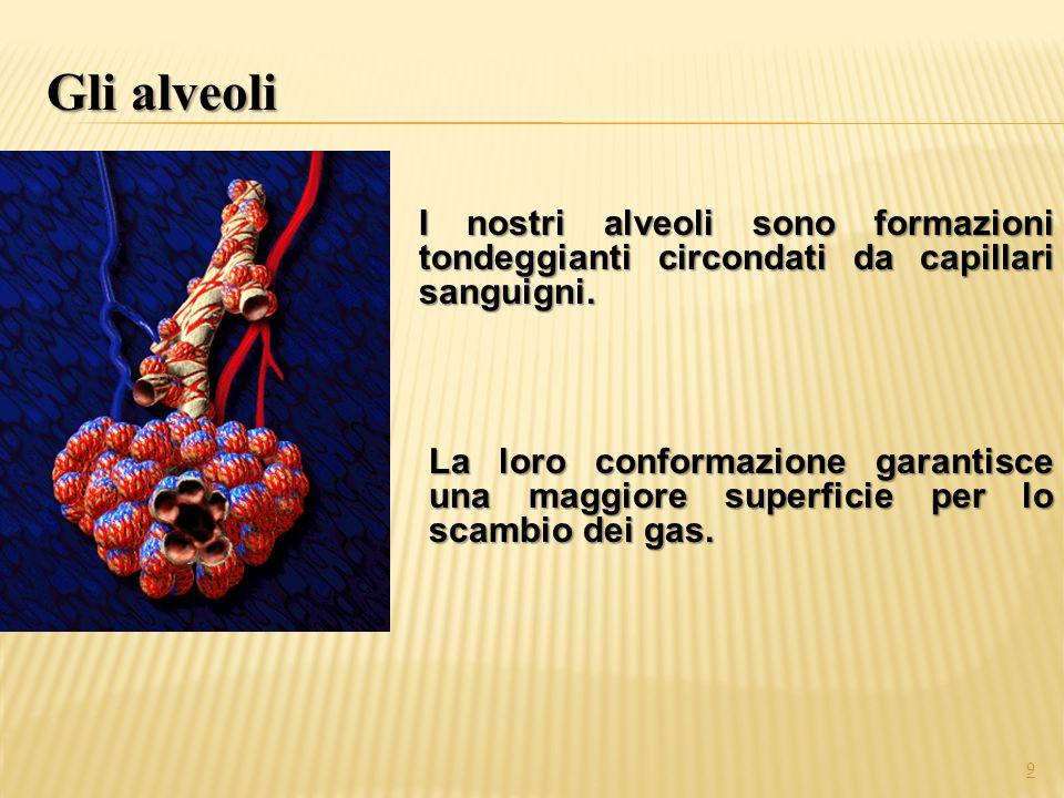 I nostri alveoli sono formazioni tondeggianti circondati da capillari sanguigni. La loro conformazione garantisce una maggiore superficie per lo scamb