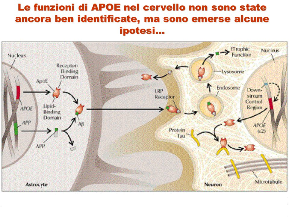Le funzioni di APOE nel cervello non sono state ancora ben identificate, ma sono emerse alcune ipotesi…