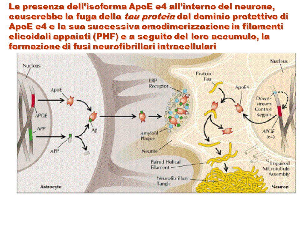 La presenza dell'isoforma ApoE e4 all'interno del neurone, causerebbe la fuga della tau protein dal dominio protettivo di ApoE e4 e la sua successiva