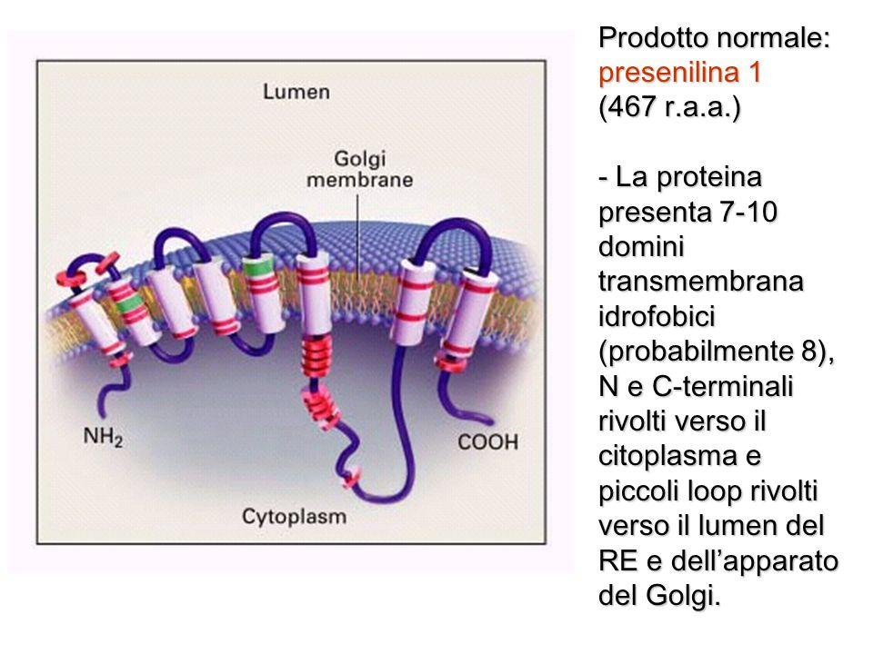 Prodotto normale: presenilina 1 (467 r.a.a.) - La proteina presenta 7-10 domini transmembrana idrofobici (probabilmente 8), N e C-terminali rivolti ve