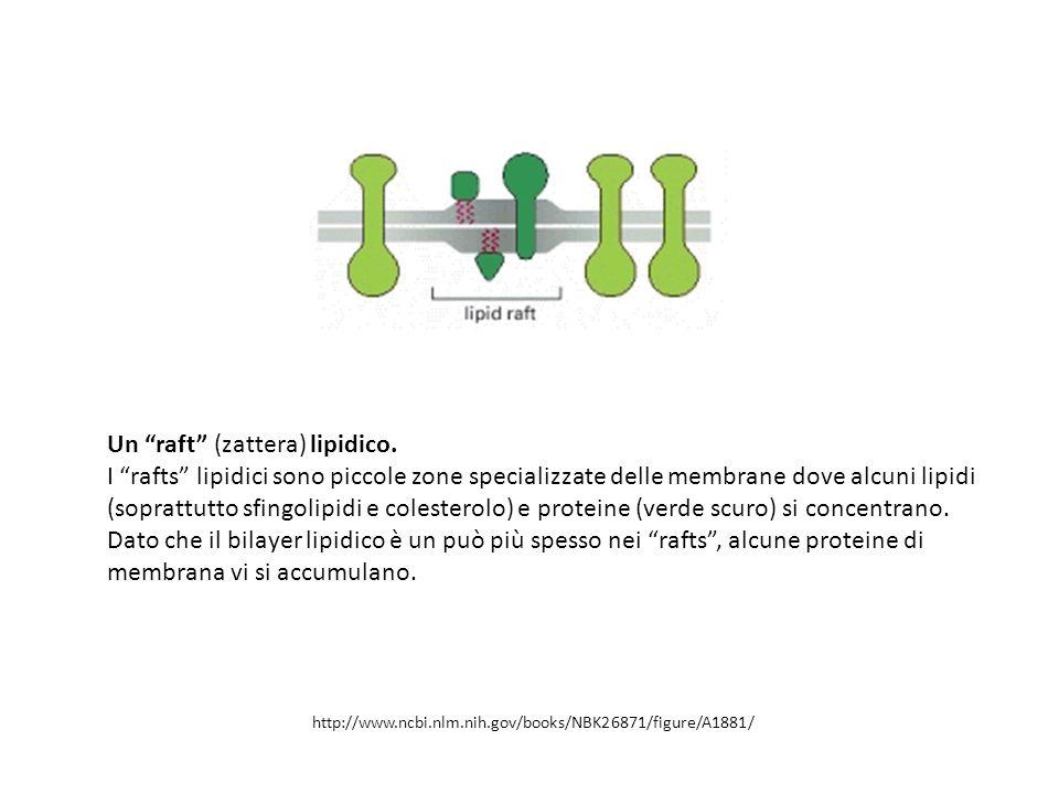 """Un """"raft"""" (zattera) lipidico. I """"rafts"""" lipidici sono piccole zone specializzate delle membrane dove alcuni lipidi (soprattutto sfingolipidi e coleste"""
