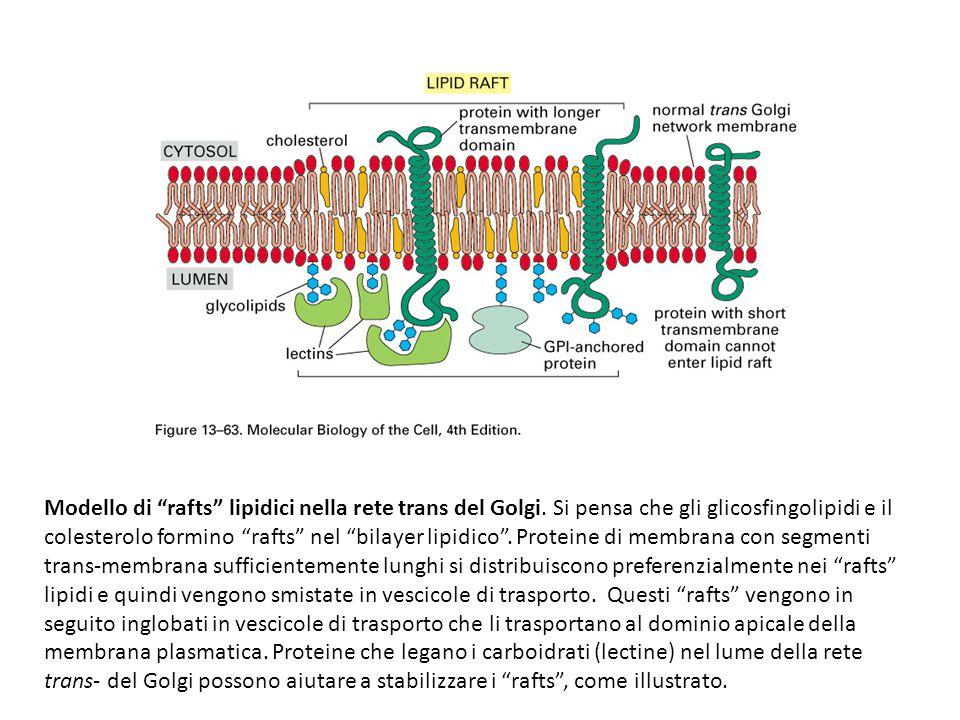 """Modello di """"rafts"""" lipidici nella rete trans del Golgi. Si pensa che gli glicosfingolipidi e il colesterolo formino """"rafts"""" nel """"bilayer lipidico"""". Pr"""