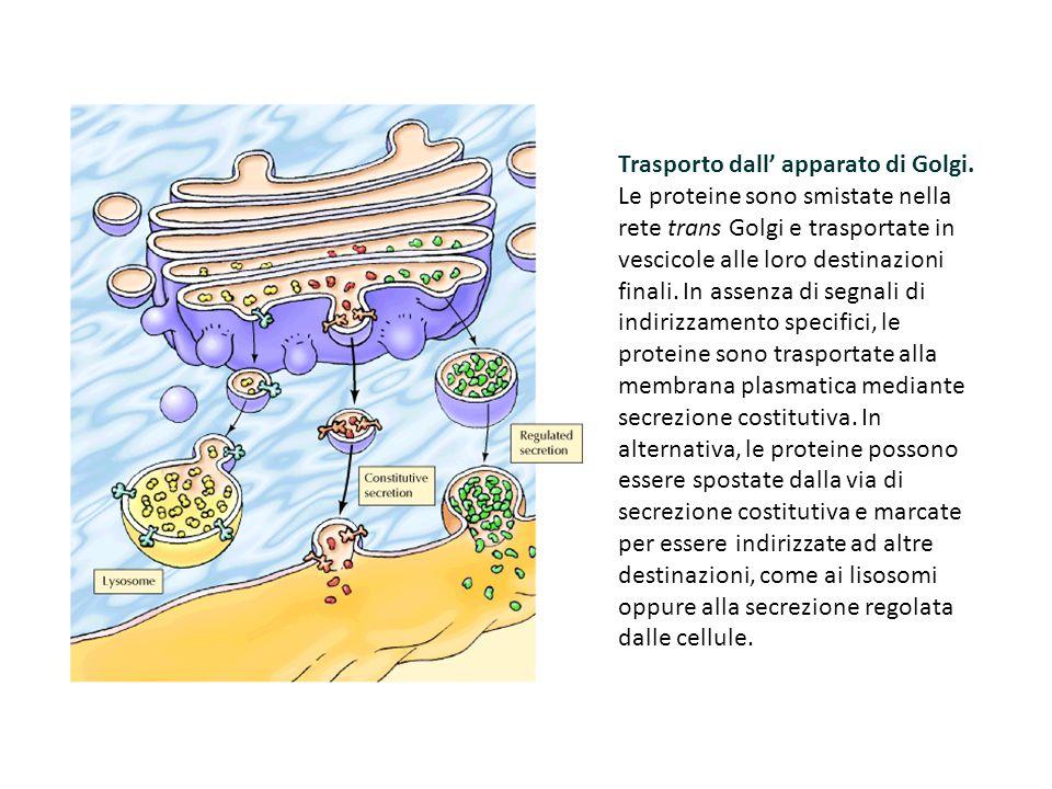 Trasporto dall' apparato di Golgi. Le proteine sono smistate nella rete trans Golgi e trasportate in vescicole alle loro destinazioni finali. In assen