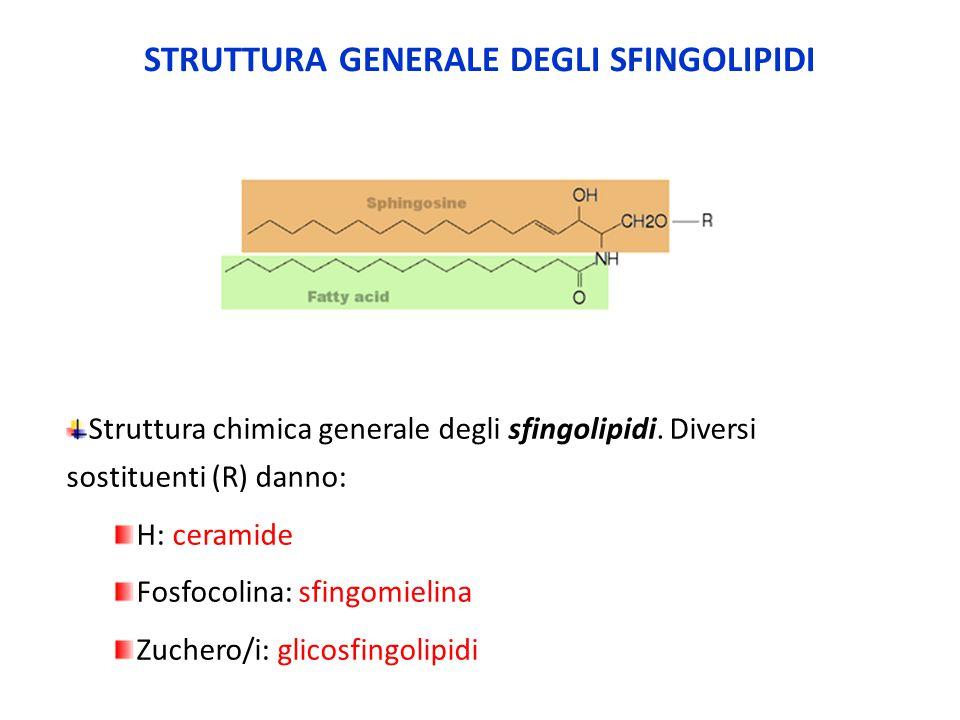 Struttura chimica generale degli sfingolipidi. Diversi sostituenti (R) danno: H: ceramide Fosfocolina: sfingomielina Zuchero/i: glicosfingolipidi STRU
