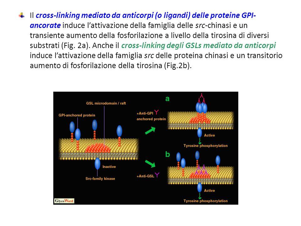 Il cross-linking mediato da anticorpi (o ligandi) delle proteine GPI- ancorate induce l'attivazione della famiglia delle src-chinasi e un transiente a