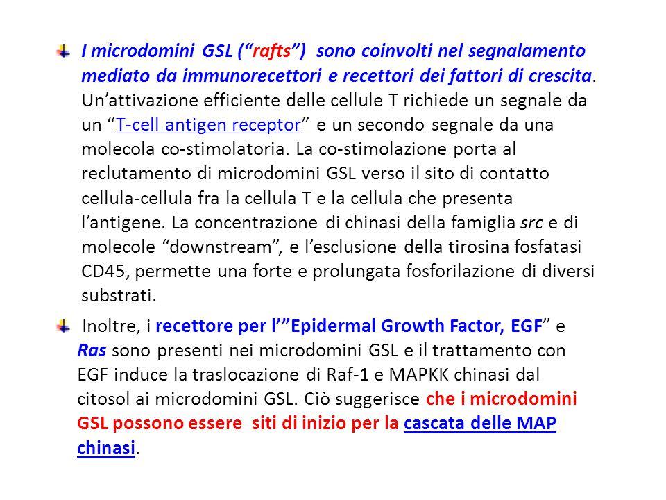 """I microdomini GSL (""""rafts"""") sono coinvolti nel segnalamento mediato da immunorecettori e recettori dei fattori di crescita. Un'attivazione efficiente"""