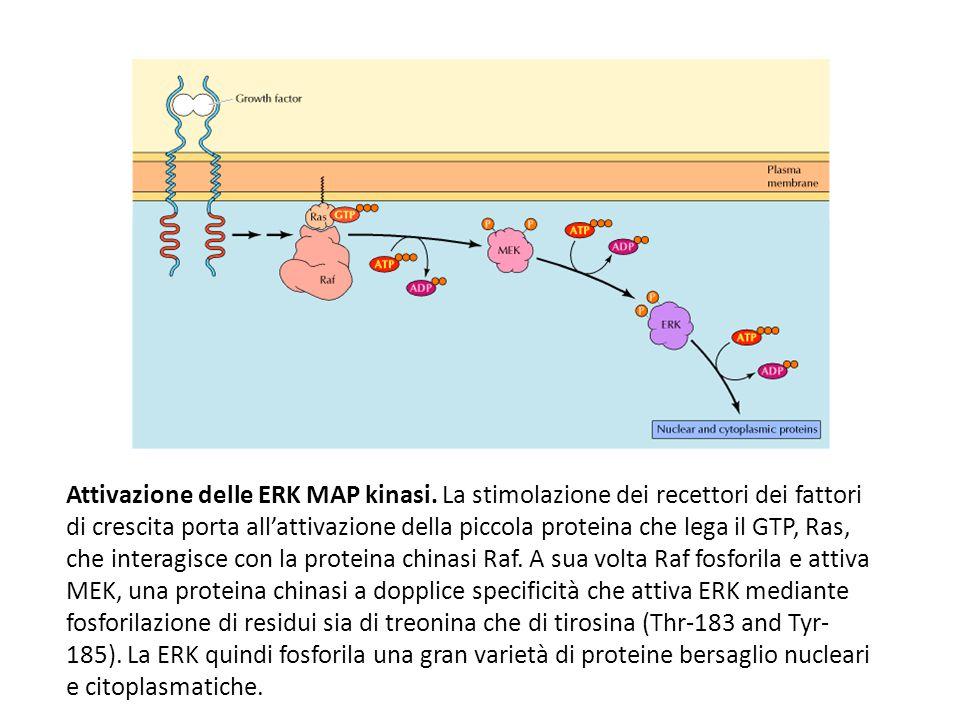 Attivazione delle ERK MAP kinasi. La stimolazione dei recettori dei fattori di crescita porta all'attivazione della piccola proteina che lega il GTP,