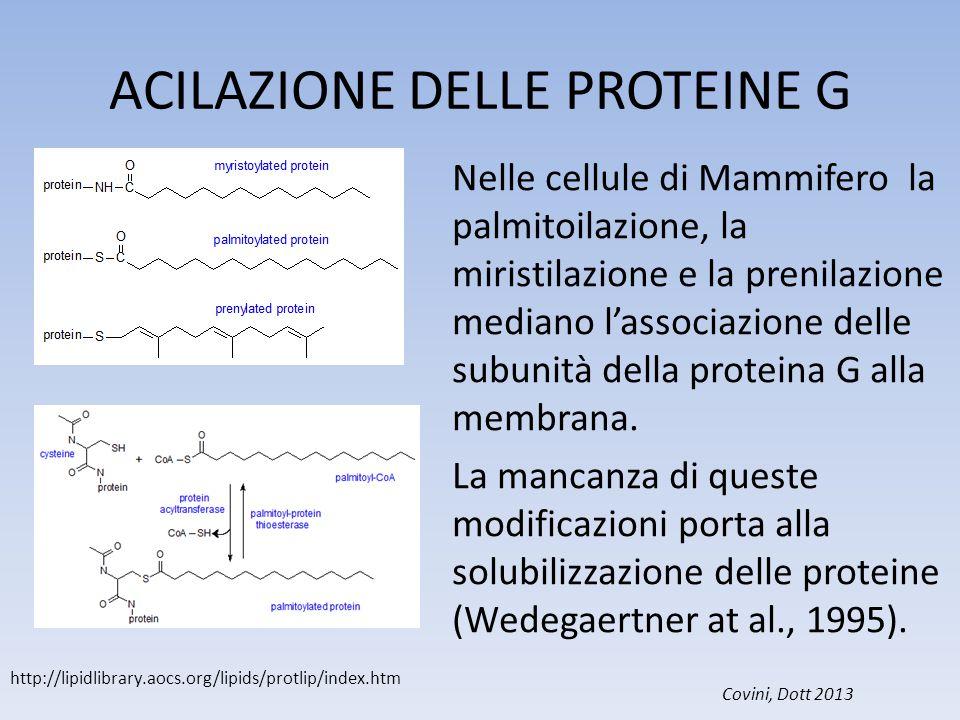 ACILAZIONE DELLE PROTEINE G Nelle cellule di Mammifero la palmitoilazione, la miristilazione e la prenilazione mediano l'associazione delle subunità d