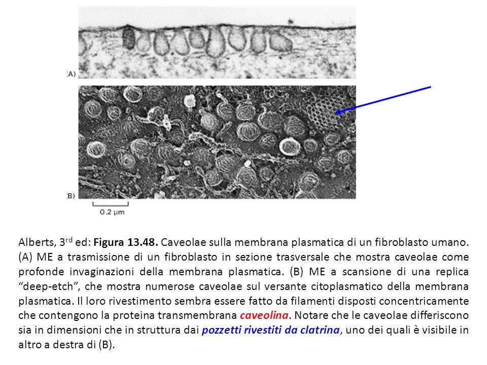 Alberts, 3 rd ed: Figura 13.48. Caveolae sulla membrana plasmatica di un fibroblasto umano. (A) ME a trasmissione di un fibroblasto in sezione trasver
