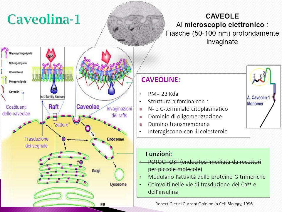 CAVEOLINE: PM= 23 Kda Struttura a forcina con : N- e C-terminale citoplasmatico Dominio di oligomerizzazione Domino transmembrana Interagiscono con il