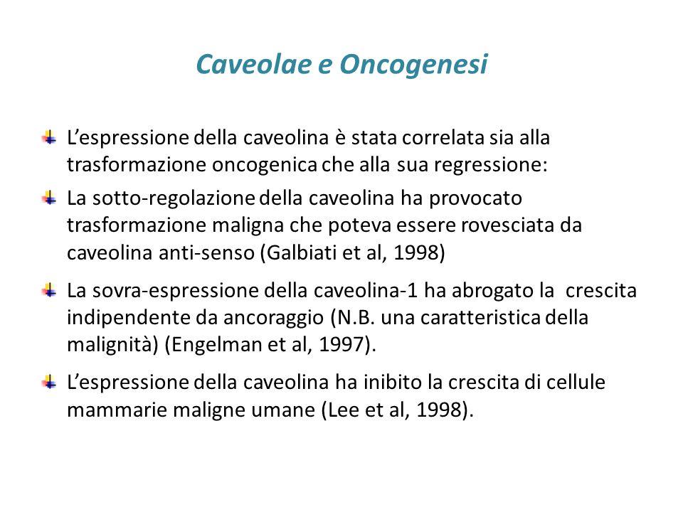 Caveolae e Oncogenesi L'espressione della caveolina è stata correlata sia alla trasformazione oncogenica che alla sua regressione: La sotto-regolazion