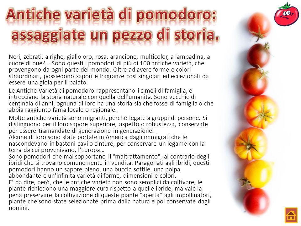 Neri, zebrati, a righe, giallo oro, rosa, arancione, multicolor, a lampadina, a cuore di bue?… Sono questi i pomodori di più di 100 antiche varietà, c