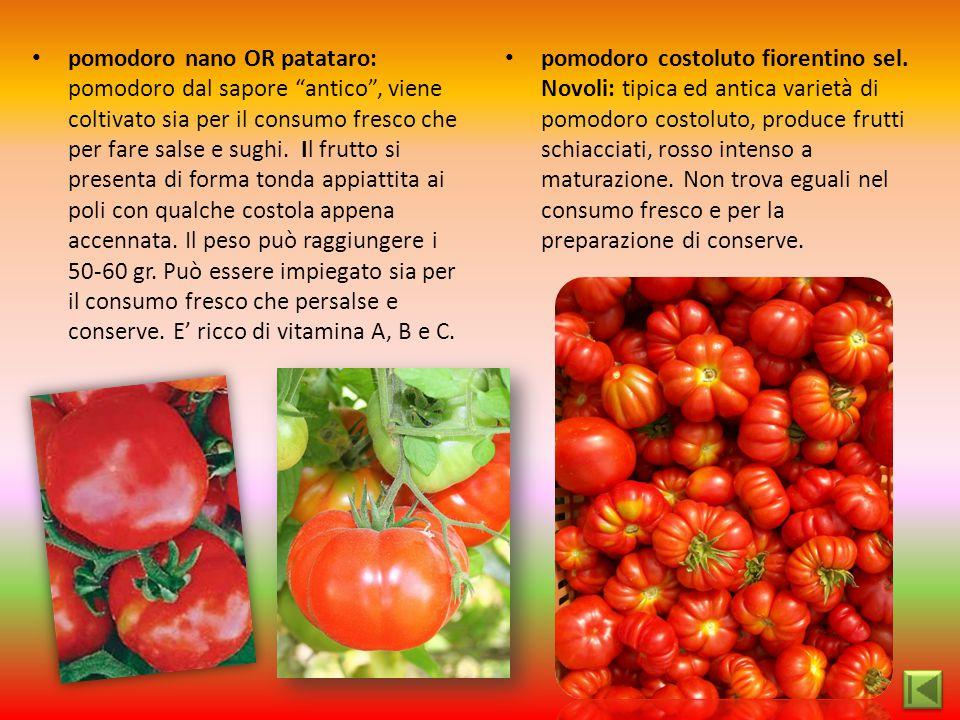 """pomodoro nano OR patataro: pomodoro dal sapore """"antico"""", viene coltivato sia per il consumo fresco che per fare salse e sughi. Il frutto si presenta d"""