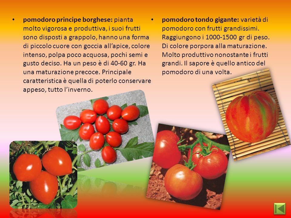 pomodoro principe borghese: pianta molto vigorosa e produttiva, i suoi frutti sono disposti a grappolo, hanno una forma di piccolo cuore con goccia al