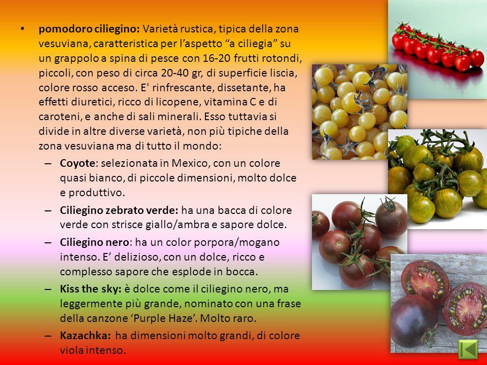 """pomodoro ciliegino: Varietà rustica, tipica della zona vesuviana, caratteristica per l'aspetto """"a ciliegia"""" su un grappolo a spina di pesce con 16-20"""