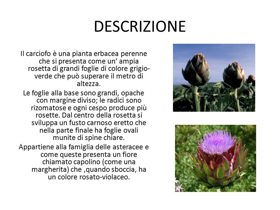DESCRIZIONE Il carciofo è una pianta erbacea perenne che si presenta come un' ampia rosetta di grandi foglie di colore grigio- verde che può superare