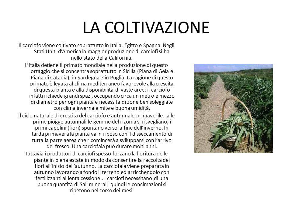 LA COLTIVAZIONE Il carciofo viene coltivato soprattutto in Italia, Egitto e Spagna. Negli Stati Uniti d'America la maggior produzione di carciofi si h