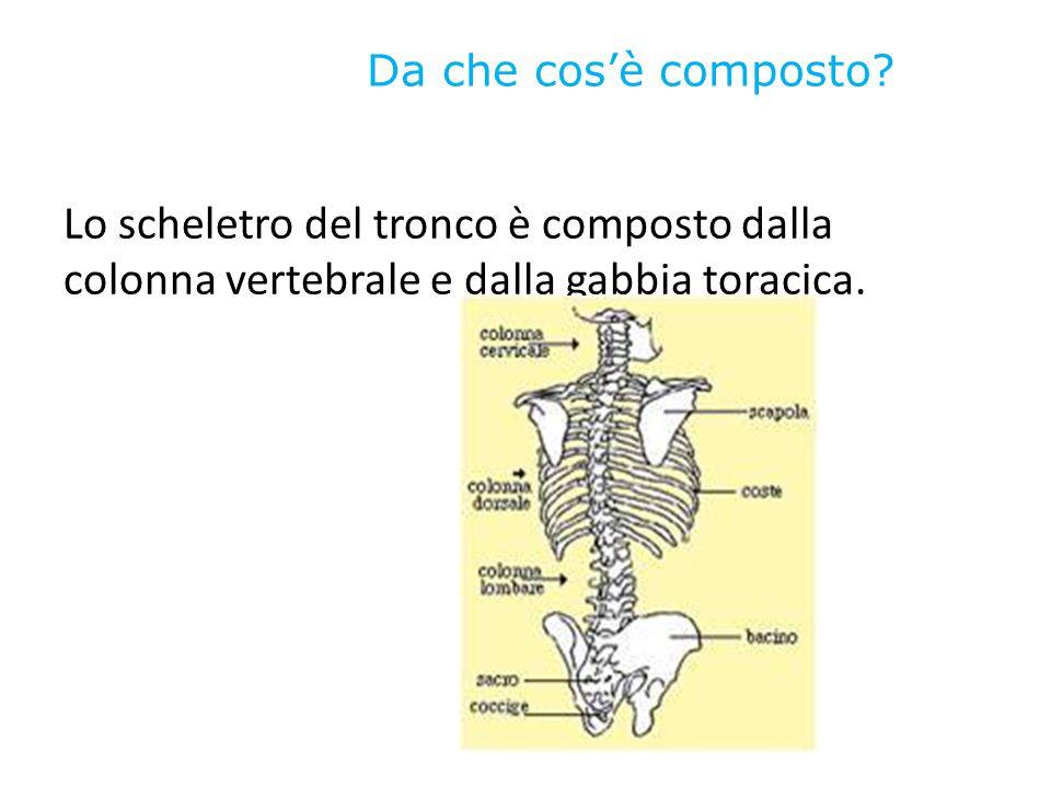 Da che cos'è composto? Lo scheletro del tronco è composto dalla colonna vertebrale e dalla gabbia toracica.
