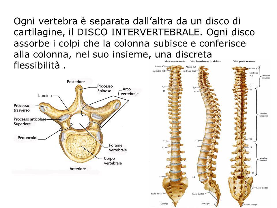 Ogni vertebra è separata dall'altra da un disco di cartilagine, il DISCO INTERVERTEBRALE. Ogni disco assorbe i colpi che la colonna subisce e conferis
