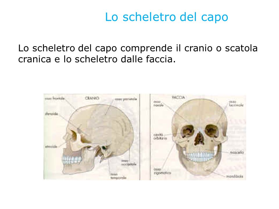 Lo scheletro del capo Lo scheletro del capo comprende il cranio o scatola cranica e lo scheletro dalle faccia.