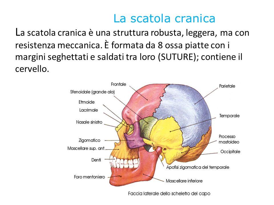 La scatola cranica L a scatola cranica è una struttura robusta, leggera, ma con resistenza meccanica. È formata da 8 ossa piatte con i margini seghett