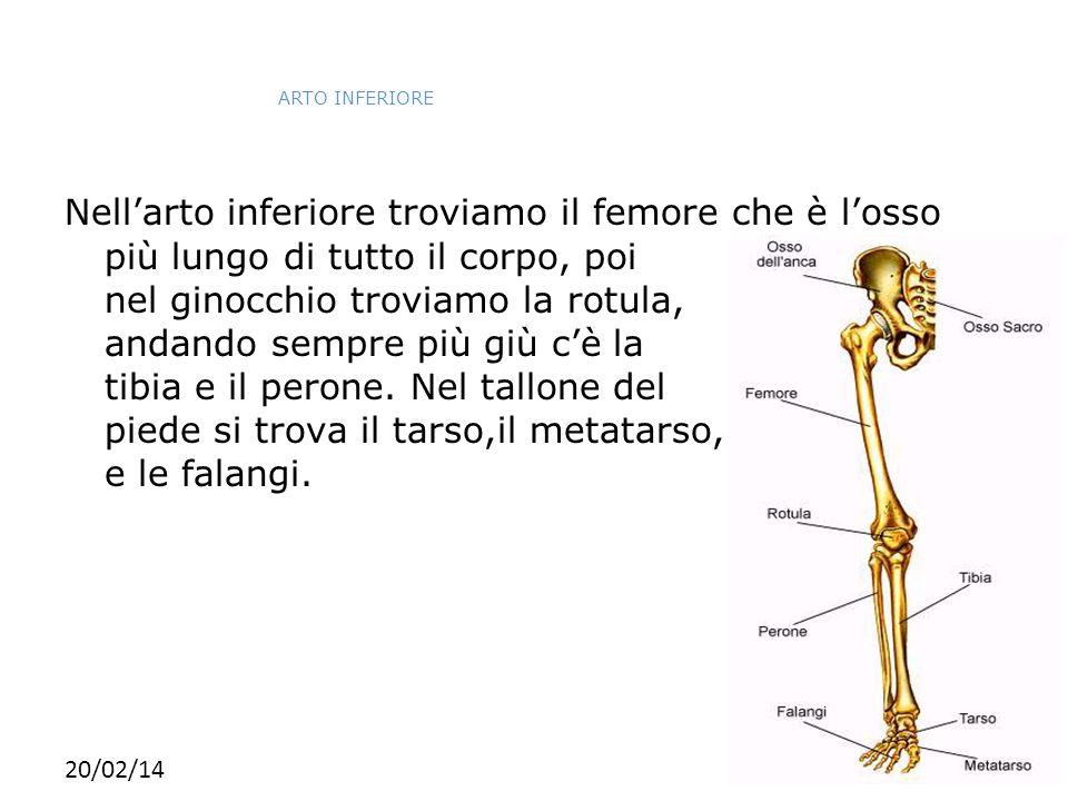 20/02/14 ARTO INFERIORE Nell'arto inferiore troviamo il femore che è l'osso più lungo di tutto il corpo, poi nel ginocchio troviamo la rotula, andando