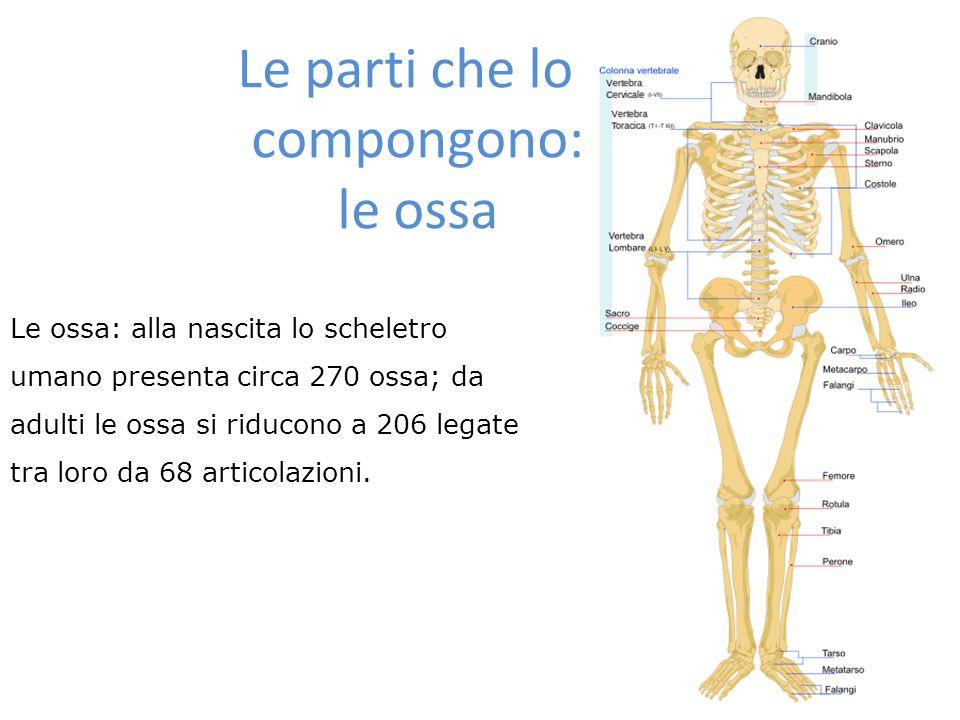Le parti che lo compongono: le ossa Le ossa: alla nascita lo scheletro umano presenta circa 270 ossa; da adulti le ossa si riducono a 206 legate tra l