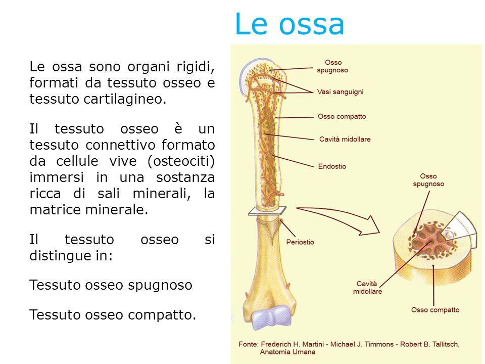 Le ossa Le ossa sono organi rigidi, formati da tessuto osseo e tessuto cartilagineo. Il tessuto osseo è un tessuto connettivo formato da cellule vive