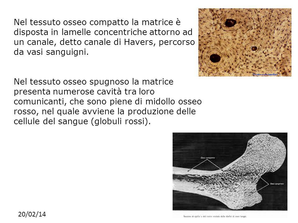 20/02/14 Nel tessuto osseo compatto la matrice è disposta in lamelle concentriche attorno ad un canale, detto canale di Havers, percorso da vasi sangu