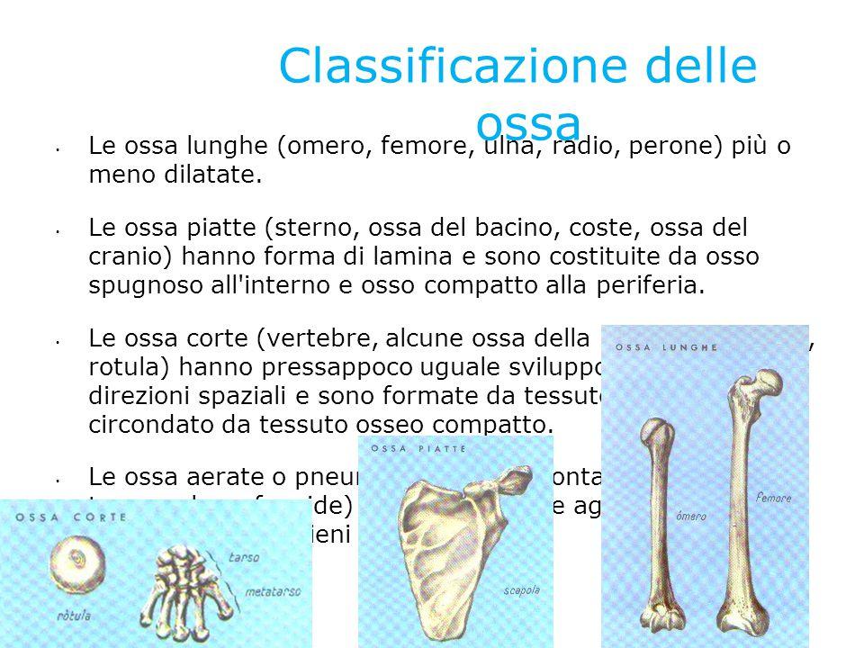 Classificazione delle ossa Le ossa lunghe (omero, femore, ulna, radio, perone) più o meno dilatate. Le ossa piatte (sterno, ossa del bacino, coste, os