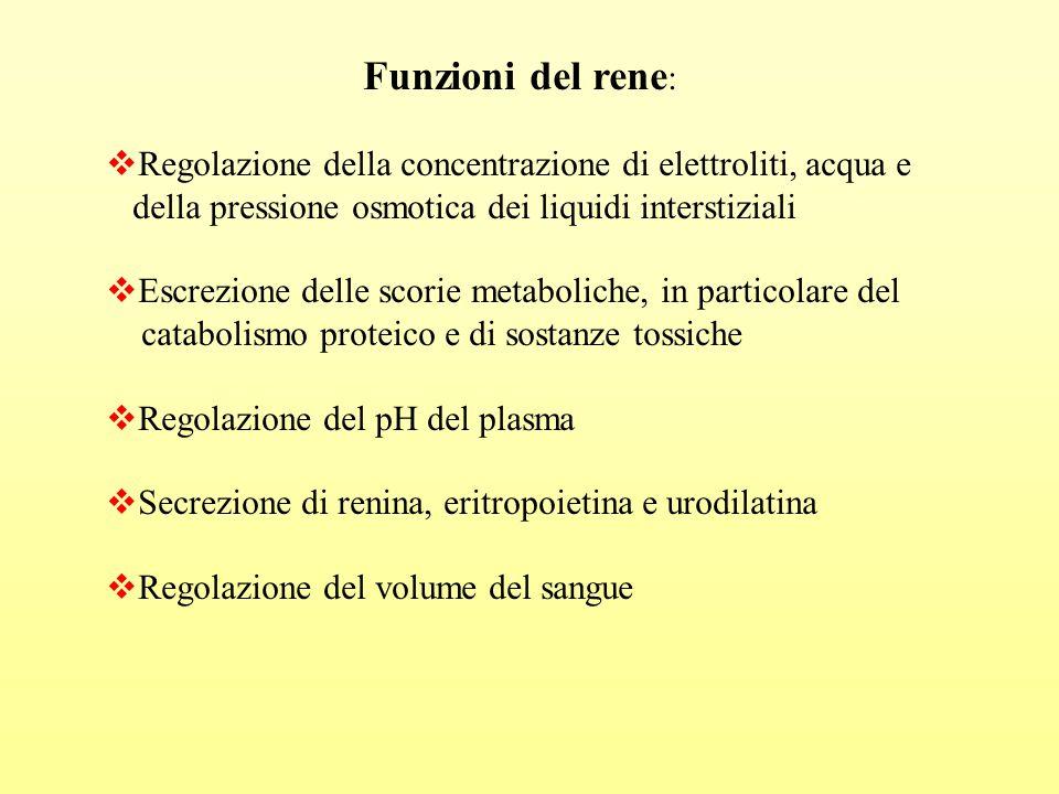 Funzioni del rene :  Regolazione della concentrazione di elettroliti, acqua e della pressione osmotica dei liquidi interstiziali  Escrezione delle s