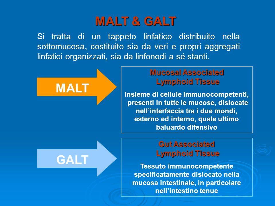 MALT & GALT Si tratta di un tappeto linfatico distribuito nella sottomucosa, costituito sia da veri e propri aggregati linfatici organizzati, sia da linfonodi a sé stanti.