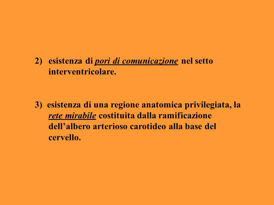 2)esistenza di pori di comunicazione nel setto interventricolare. 3) esistenza di una regione anatomica privilegiata, la rete mirabile costituita dall
