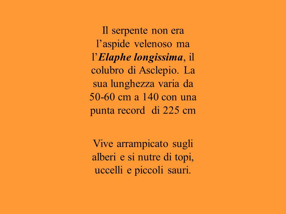 Il serpente non era l'aspide velenoso ma l'Elaphe longissima, il colubro di Asclepio. La sua lunghezza varia da 50-60 cm a 140 con una punta record di
