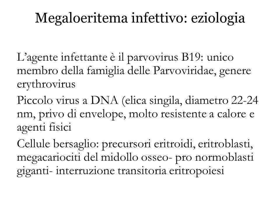 Megaloeritema infettivo: eziologia L'agente infettante è il parvovirus B19: unico membro della famiglia delle Parvoviridae, genere erythrovirus Piccol