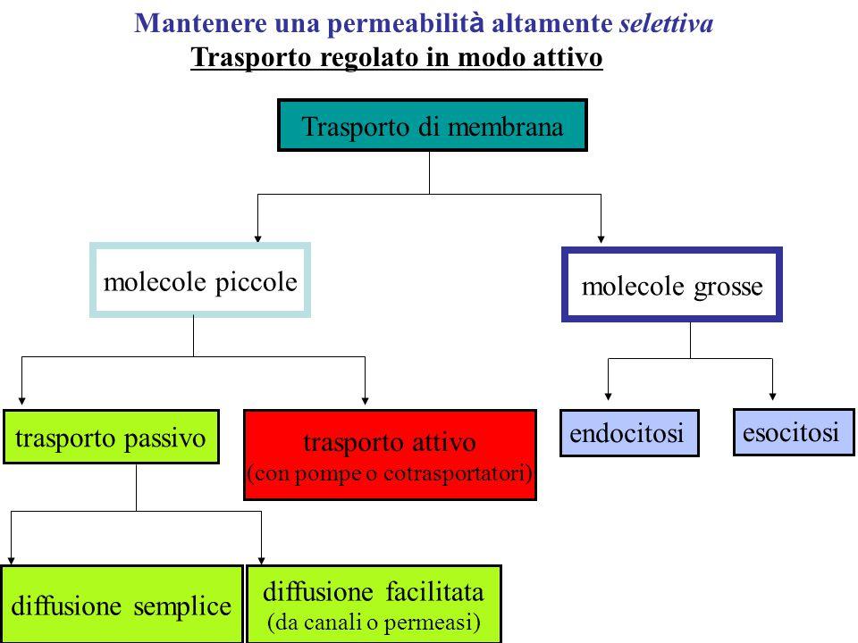 Struttura: modello a mosaico fluido - Cosa significa? A) Fluidità delle membrane sistema dinamico B) Le membrane sono MOSAICI strutturali e funzionali