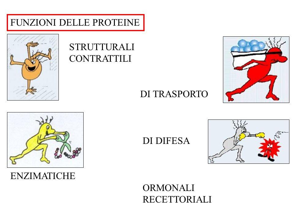 """PROTEINE dal greco """"al 1° posto"""" La funzione di una proteina dipende dalla specifica CONFORMAZIONE NATIVA NH3 + COO - H R C gruppo aminico gruppo carb"""