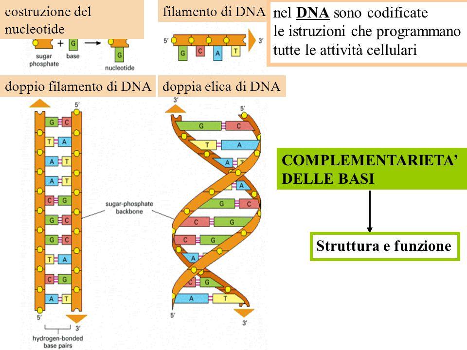 L'informazione genetica? Trascrizione e Traduzione Codice genetico Meccanismi di CONTROLLO della espressione genica Dove è scritta l'informazione geni