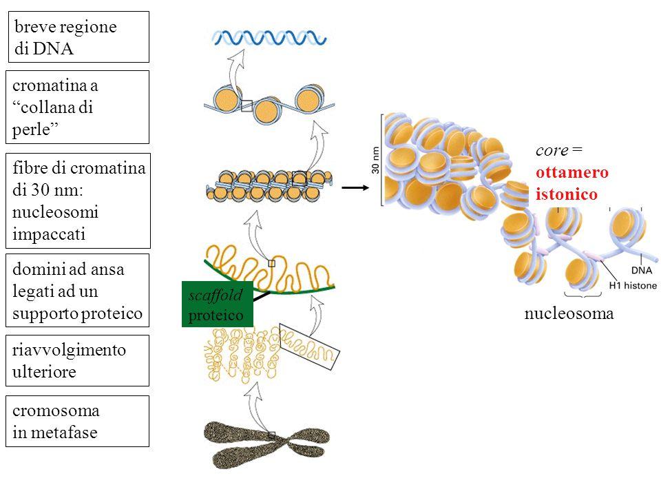 CROMATINA La cromatina è un complesso tra DNA eucariotico e proteine. Le proteine principali sono gli istoni Il grado di condensazione varia durante i