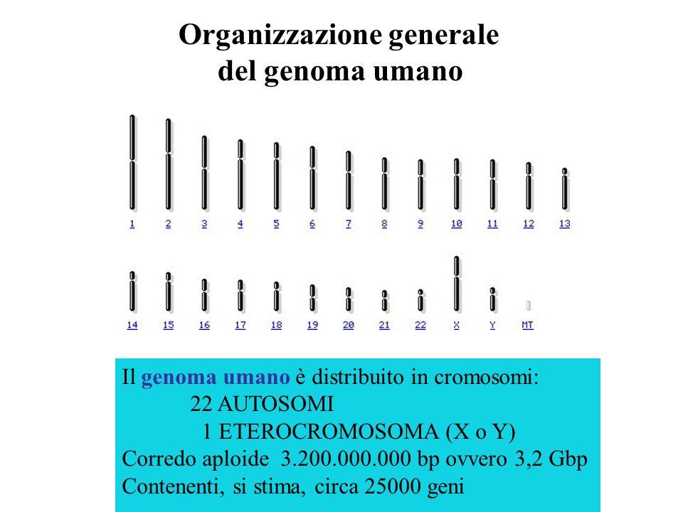 il complesso dell'informazione genetica di una cellula la massa totale del DNA cellulare il patrimonio ereditario dell'organismo a cui appartiene Geno