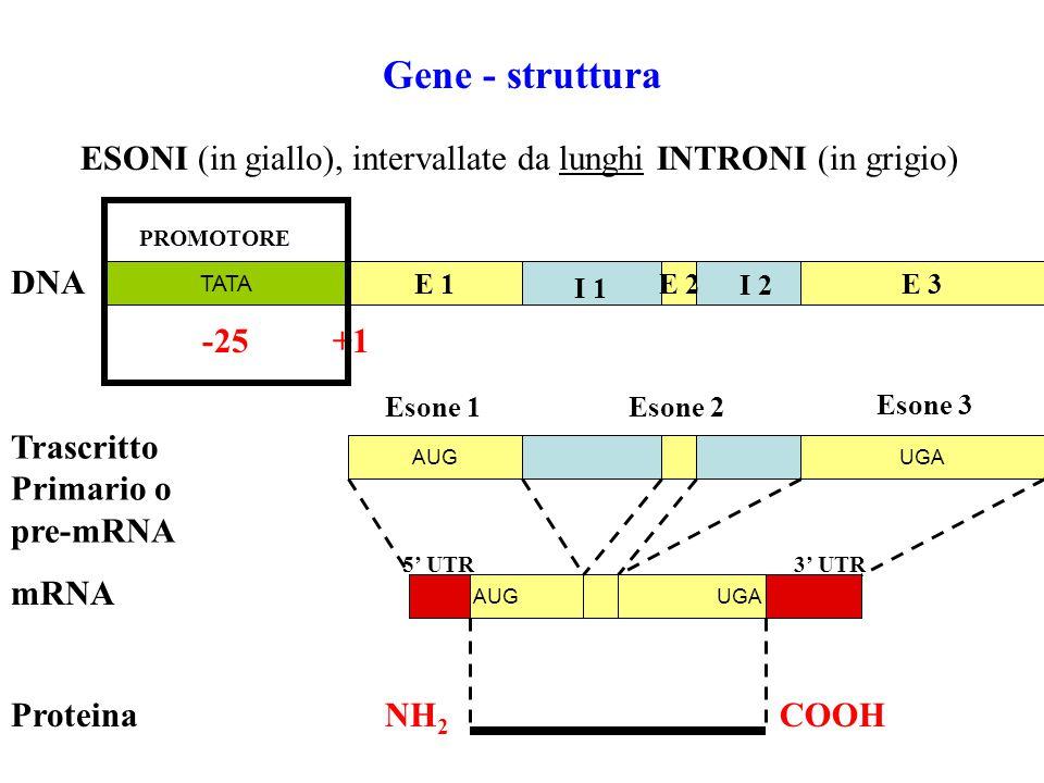 GENE IL GENE È UNA REGIONE DI DNA TRASCRITTA Gene - come concetto
