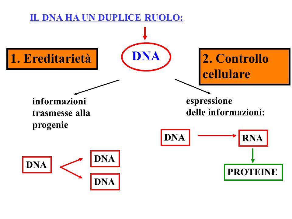 """Immagine mentale della attivazione dei geni lungo il DNA: I geni lungo il DNA sono come """"luci di Natale"""" lungo la matassa dei fili: si accendono e si"""