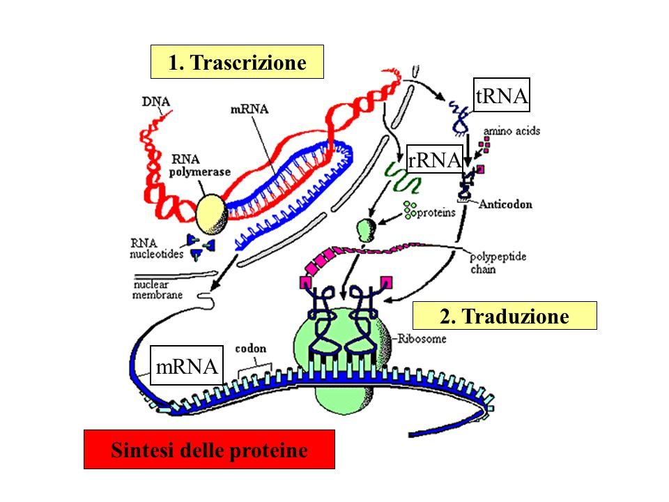 L'informazione genetica, contenuta nel DNA, ha lo scopo di: 1) mantenere lo stato vitale (strutture e funzioni) 2) realizzare l'adattamento (risposta