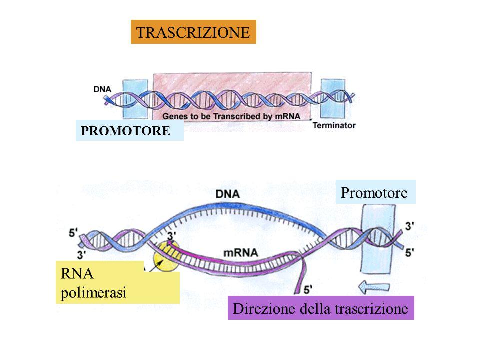 1. Trascrizione Sintesi delle proteine 2. Traduzione tRNA rRNA mRNA