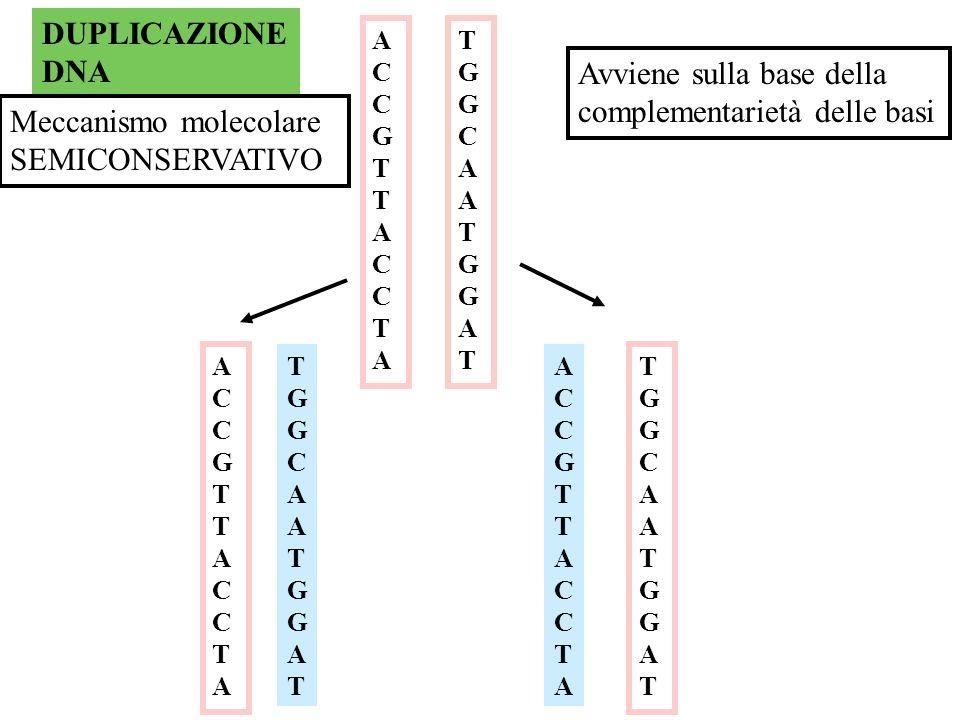 M FASE S Sintesi o duplicazione del DNA Replicazione del DNA o duplicazione del DNA, meccanismo atto a mantenere invariato il patrimonio informativo e