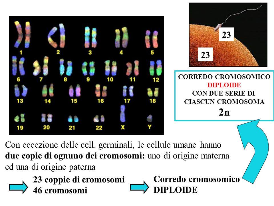 Dimensioni medie: - 2nm diametro - 8 cm lunghezza Li vediamo solo quando: -1 µm di diametro - alcuni µm di lunghezza cromosomi Cosa sono i cromosomi?