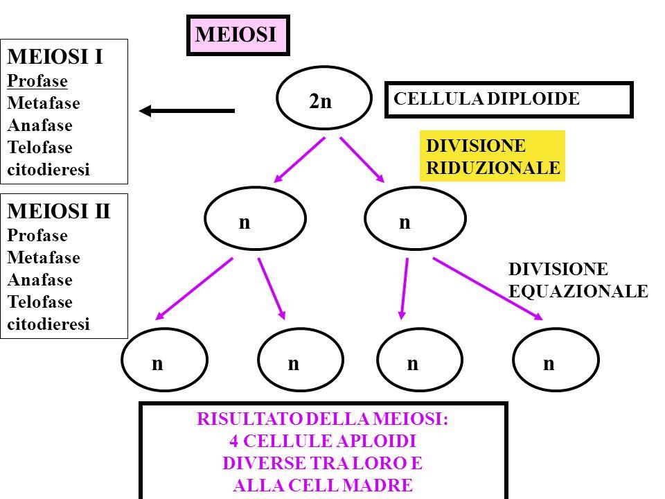 MITOSI DIVISIONE CELLULARE CELLULE SOMATICHE 2n DA 1 CELLULA SI OTTENGONO 2 CELLULE GENETICAMENTE UGUALI TRA LORO E ALLA CELLULA MADRE 2n CORREDO CROM